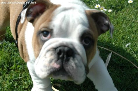 cheap bulldog puppies for sale in nc 1000 ideas about bulldogs for sale on bulldogs for sale bulldog