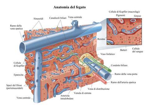vena porta fegato vena porta e circolazione fegato