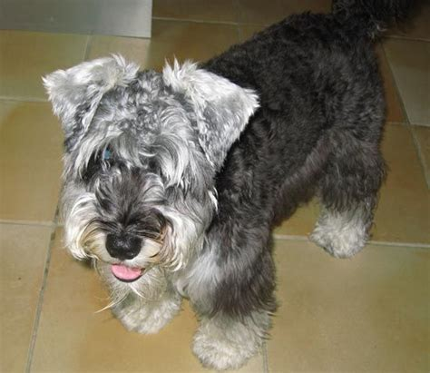 pictures miniature schnauzer with long hair miniature schnauzer long hair cuteness pinterest