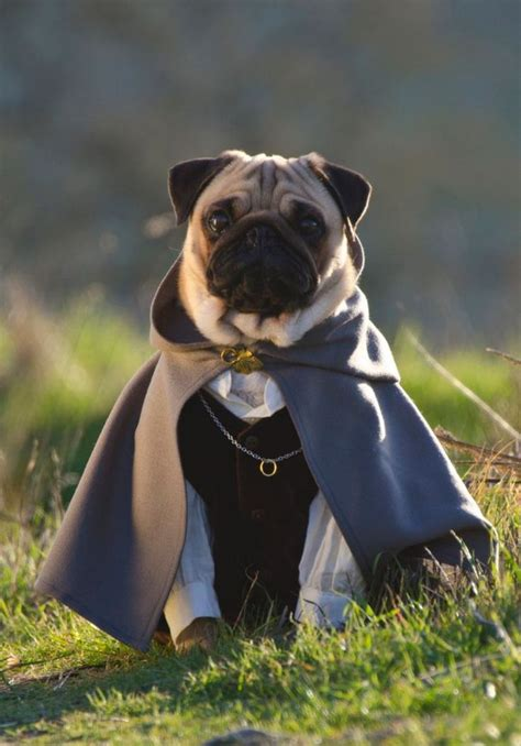 pug of the rings in pictures meet three pugs who fancy dress pugs lord of the rings and costumes