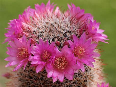 piante grasse fiorite da esterno mammillaria zeilmanniana piante grasse da esterno