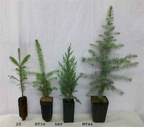 noble fir transplants tree seedlings conifers spruce pine fir larch and cedar