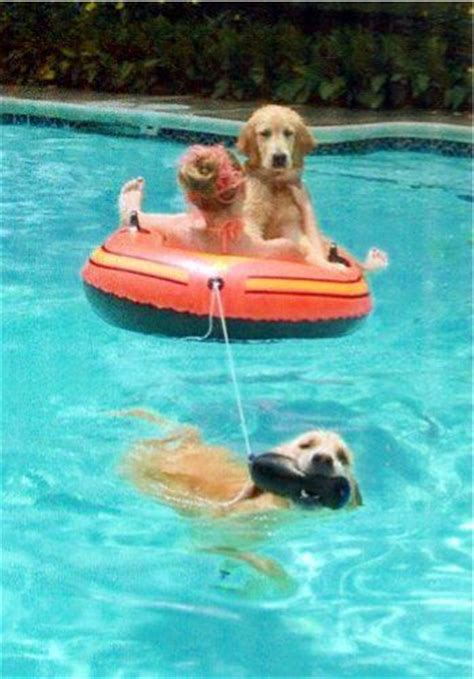 golden retriever forums 25 best ideas about swimming pools on diy swimming pool diy pool and