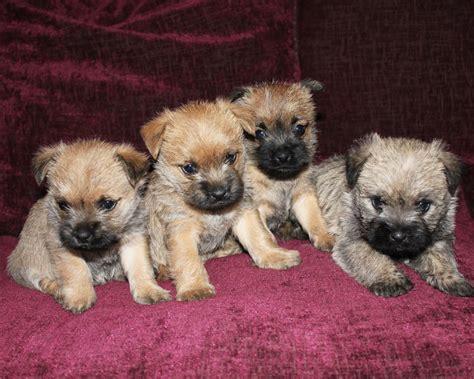 cairn terrier puppies pics for gt cairn terrier puppies