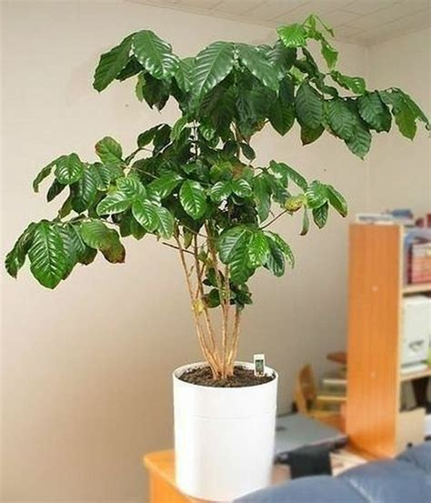plants at home how to grow a coffee plant care and growing at home