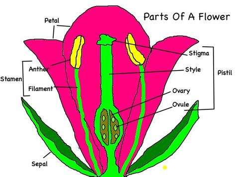 diagram of parts of a plant science technology seed to a seedling stage