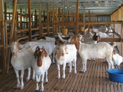 Pakan Ternak Hasil Fermentasi pakan fermentasi ternak kambing cara budidaya