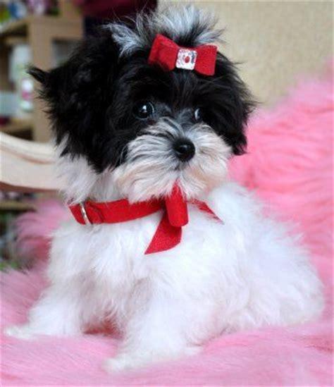 teacup yorkie puppies for sale melbourne teacup maltipoo puppies for sale melbourne dogs for sale puppies for sale