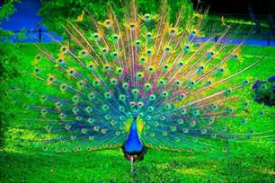 colorful peacock most beautiful images of peacocks you can get gorgeous