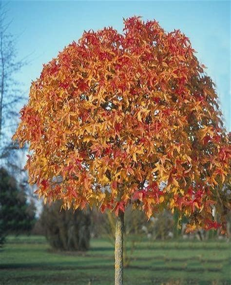 Shades Of Red List by Winter Hill Tree Farm Gumball Liquidambar Liquidambar