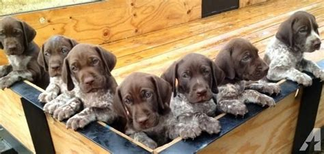 german shorthair puppies for sale akc german shorthaired pointer puppies for sale in driftwood classified