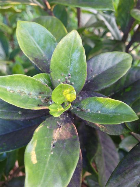 indoor gardenia brown leaves diagnosis ants and white gray brown spores all my gardenia gardening landscaping