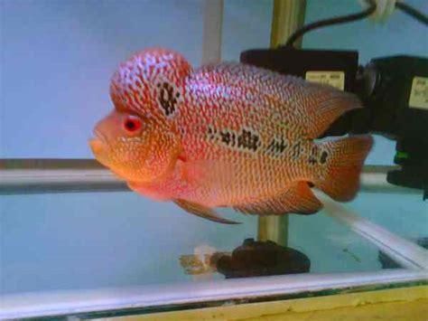 Ikan Louhan Synpilum Vieja Kamfa jenis dan harga ikan louhan dengan gambar binatang