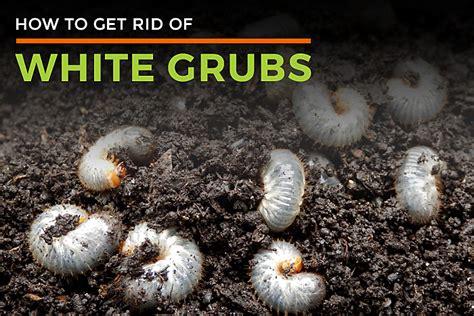 White Grubs In Garden Facts Diet Habitat Life Cycle Grubs In Vegetable Garden