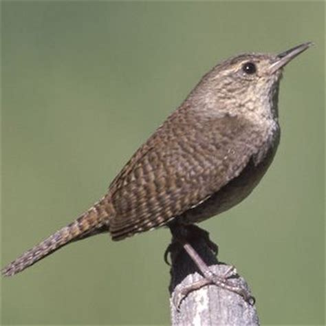 house wren bird calls photos pinterest