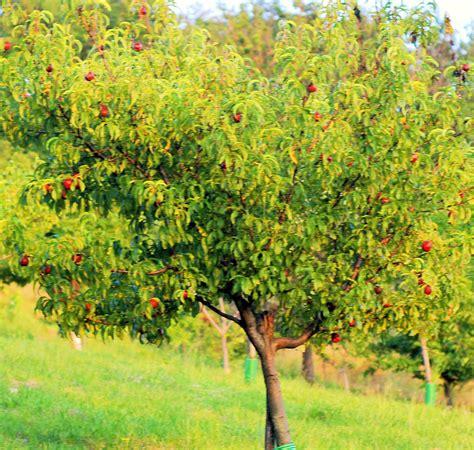 nectarine tree nectarine living in italy