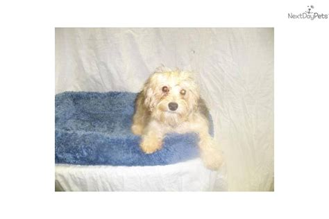 yorkie poo for sale in nj yorkiepoo yorkie poo puppy for sale near jersey new jersey 5250c078 4031