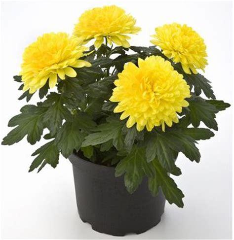 Bunga Hias Aster Mini how to grow chrysanthemums in pots
