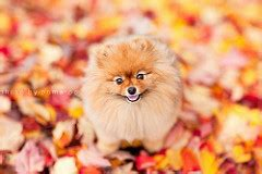 what colors do pomeranians come in the world s best photos of pomeranian flickr hive mind