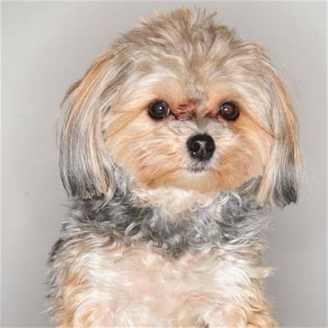 grown yorkie maltese mix what is a morkie yorkie mix puppies for sale