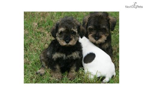 schnoodle puppies for sale near me schnoodle puppy for sale near houston 755dc137 92d1
