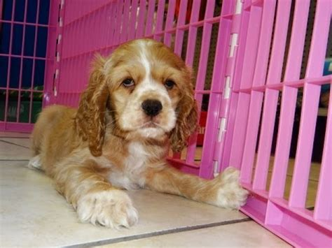 dogs for sale in alabama cocker spaniel puppies dogs for sale in birmingham alabama al 19breeders