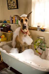 great dane taking a bath just for laughs