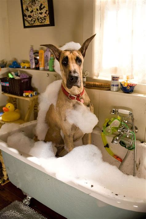 dog in a bathtub video great dane taking a bath funny just for laughs