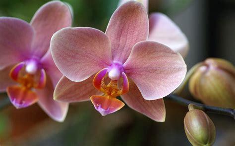 orchid wallpaper 8284