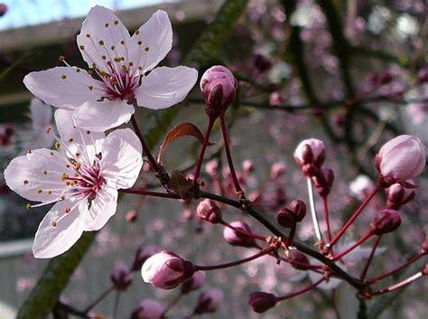alberi da fiore alberi da fiore piante da giardino alberi da fiore