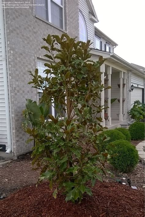 Magnolia Tree Shedding Leaves by Plantfiles Pictures Southern Magnolia Bracken S Brown
