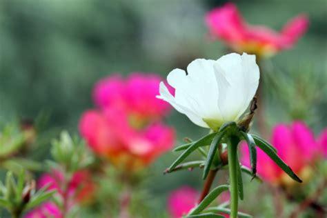 fiori da piantare a marzo fiori da seminare a marzo pollicegreen
