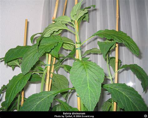 images of plants erowid plants vaults images salvia divinorum