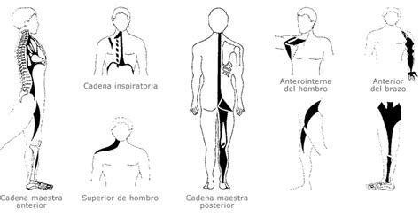 cadenas musculares tronco cadenas musculares levitar pilates