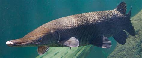 Ikan Aligator Spatula alligator gar tennessee aquarium
