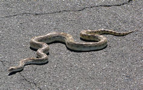 Garden Snake Arizona Gopher Snake Crossing The Road In Tucson Arizona By
