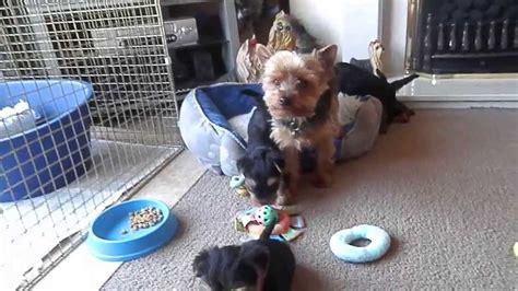 6 week yorkie puppy terrier puppies 6 weeks funnydog tv
