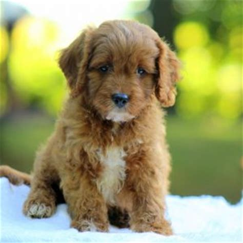 cavapoo puppies for sale ny cavapoo puppies for sale in de md ny nj philly dc and baltimore