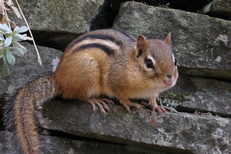 a chipmunk about chipmunks welcome wildlife