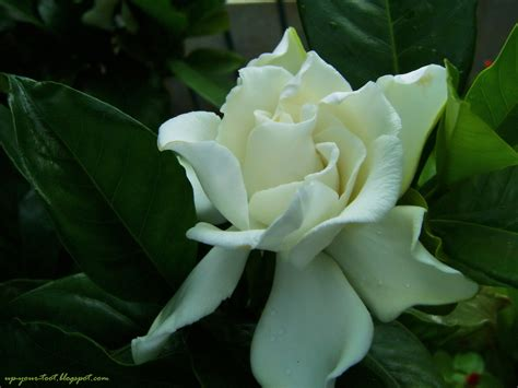 gardenia flowers the cape jasmine gardenia jasminoides half a pound of