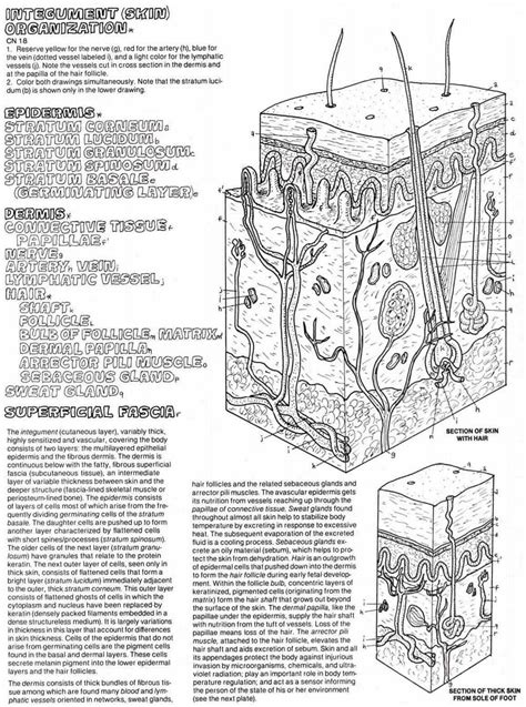 anatomy and physiology coloring workbook answers integumentary system human skin diagram worksheet
