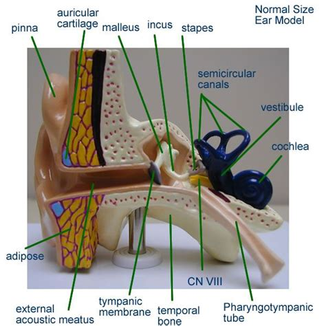 ear model apnerveendocrine pinterest ears