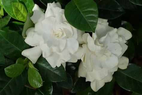 high c gardenias flower and vegetable planting tips sturtz copeland