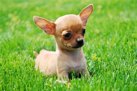 chi puppy types of chihuahua breeds pets world