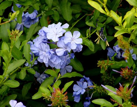 High Heat Plants by Flowers Amp Fruits Powdered Blue Tubular Flowers In