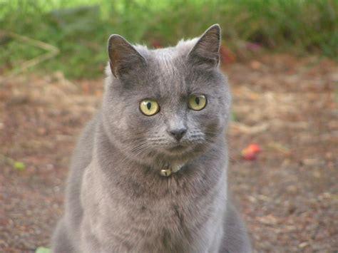 cute grey cats cute cat