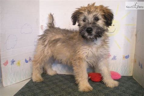 wheaten terrier puppy 36 best wheaten terrier images on