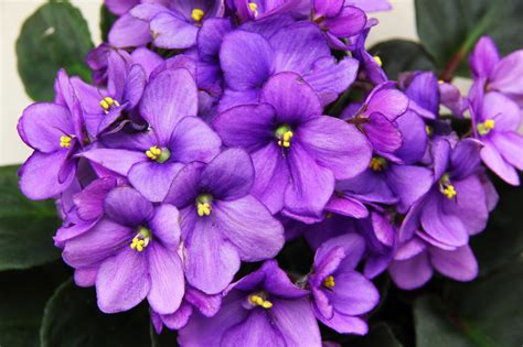 african violet how to root an african violet leaf 6 steps with pictures