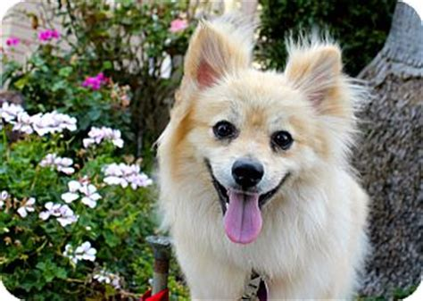 how to your pomeranian not to bark pomeranian mix for adoption in los angeles california bark gable