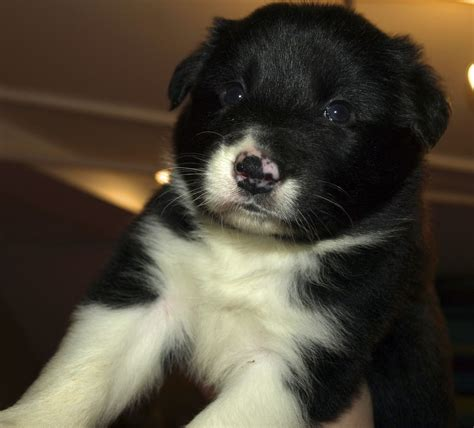 purebred border collie puppies for sale border collie page 5 the universe of animals